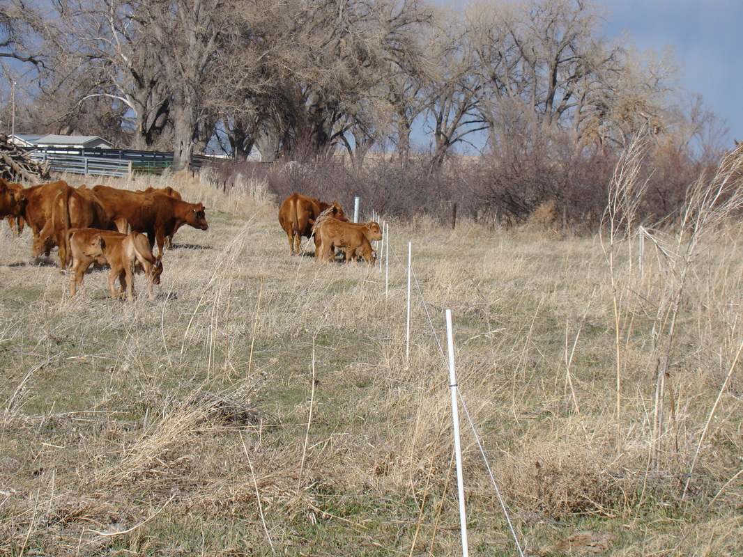 Portable Electric Fence with Cows